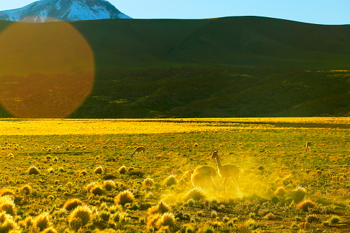 Bolivian Andes「Vicuna Guanaco, animal wildlife in Andes altiplano and Idyllic Atacama Desert, Volcanic landscape panorama – Antofagasta region, Chilean Andes, Chile, Bolívia and Argentina border」:スマホ壁紙(4)