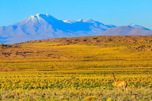 Puna「Vicuna Guanaco, animal wildlife in Andes altiplano and Idyllic Atacama Desert, Volcanic landscape panorama – Antofagasta region, Chilean Andes, Chile, Bolívia and Argentina border」:スマホ壁紙(16)