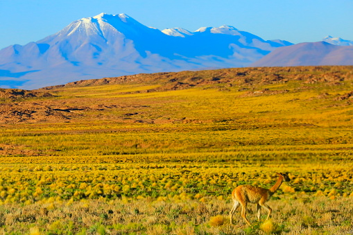 Bolivian Andes「Vicuna Guanaco, animal wildlife in Andes altiplano and Idyllic Atacama Desert, Volcanic landscape panorama – Antofagasta region, Chilean Andes, Chile, Bolívia and Argentina border」:スマホ壁紙(18)