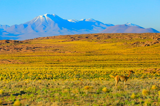 Bolivian Andes「Vicuna Guanaco, animal wildlife in Andes altiplano and Idyllic Atacama Desert, Volcanic landscape panorama – Antofagasta region, Chilean Andes, Chile, Bolívia and Argentina border」:スマホ壁紙(19)