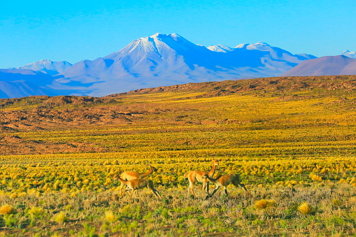 Bolivian Andes「Vicuna Guanaco, animal wildlife in Andes altiplano and Idyllic Atacama Desert, Volcanic landscape panorama – Antofagasta region, Chilean Andes, Chile, Bolívia and Argentina border」:スマホ壁紙(0)