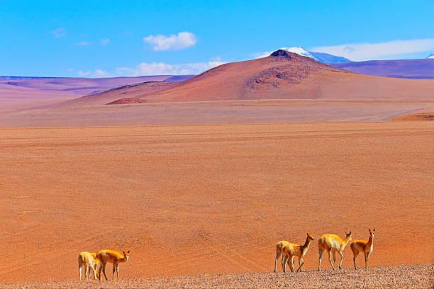 Vicuna Guanaco, animal wildlife in Andes altiplano and Idyllic Atacama Desert, Volcanic landscape panorama – Antofagasta region, Chilean Andes, Chile, Bolívia and Argentina border:スマホ壁紙(壁紙.com)