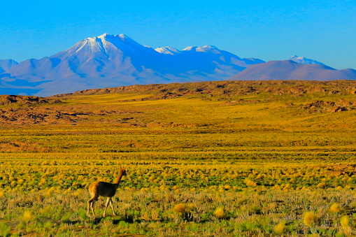 Bolivian Andes「Vicuna Guanaco, animal wildlife in Andes altiplano and Idyllic Atacama Desert, Volcanic landscape panorama – Antofagasta region, Chilean Andes, Chile, Bolívia and Argentina border」:スマホ壁紙(10)
