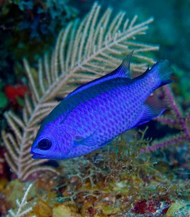熱帯魚「A Blue Chromis swims into the current over a colorful reef.」:スマホ壁紙(7)