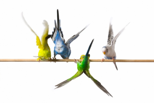 Flapping Wings「Four perched budgies」:スマホ壁紙(12)