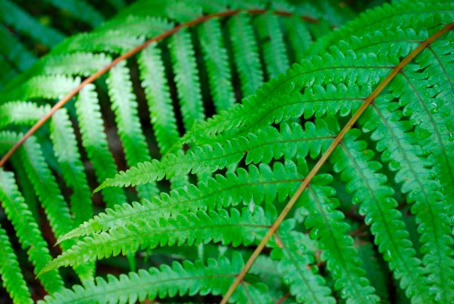 Westland National Park「Fern Background」:スマホ壁紙(13)