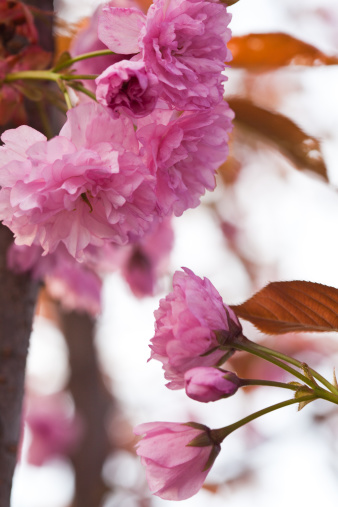 桜「Sakura blooming」:スマホ壁紙(13)