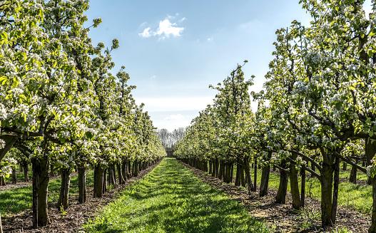 Deciduous tree「Spring apple orchard」:スマホ壁紙(18)