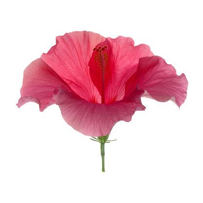 Flower Stigma「Elegant pink hibiscus flower in white square.」:スマホ壁紙(11)