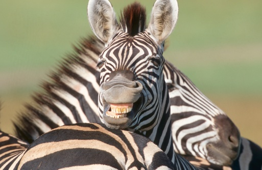 Animal Ear「Zebras (Equus burchelli) Playing Together」:スマホ壁紙(17)