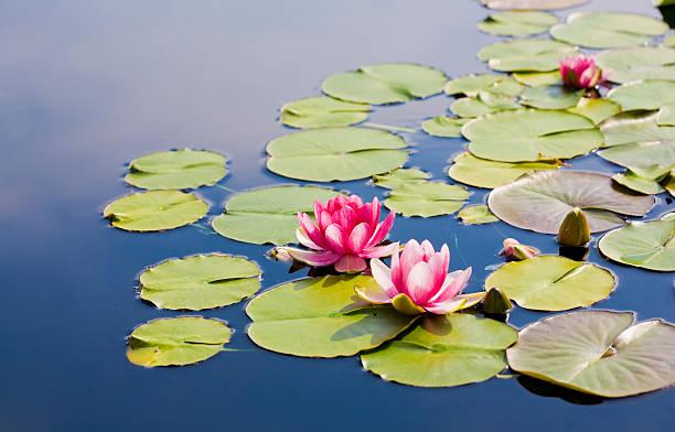 waterlilies:スマホ壁紙(壁紙.com)