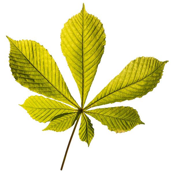 葉・植物「Leaf Of A Horse Chestnut」:写真・画像(14)[壁紙.com]