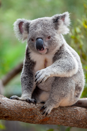 Koala「Koala at the Australia Zoo near Brisbane」:スマホ壁紙(19)