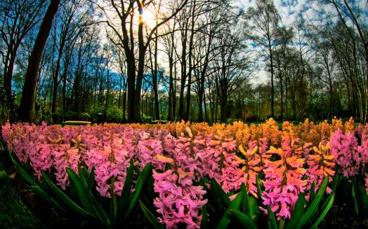 キューケンホフ公園「Hyacinth Flowers announce spring」:スマホ壁紙(12)