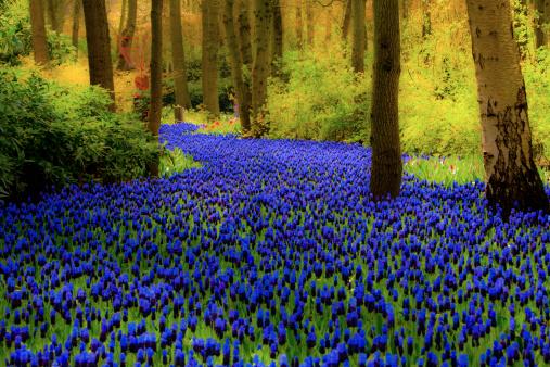 Keukenhof Gardens「Hyacinth flowers」:スマホ壁紙(2)