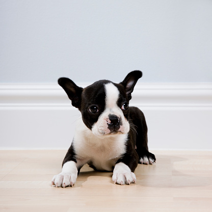 Part of a Series「boston terrier puppy」:スマホ壁紙(8)