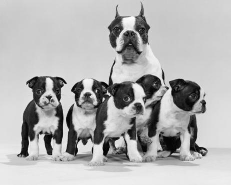 Female Animal「Boston terrier with litter of five week old puppies.」:スマホ壁紙(10)