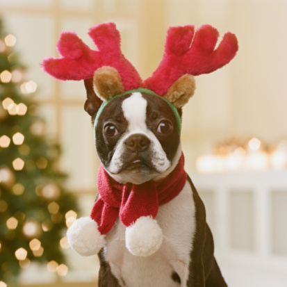 Humor「Boston Terrier wearing reindeer antlers in front of Christmas tree, close-up」:スマホ壁紙(9)