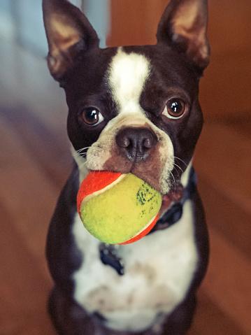 Asking「Boston Terrier dog playing with tennis ball」:スマホ壁紙(15)
