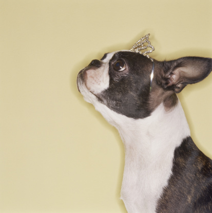 Princess「Boston terrier wearing tiara」:スマホ壁紙(8)