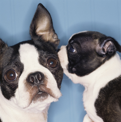 Kissing「Boston Terrier dogs telling secrets」:スマホ壁紙(7)