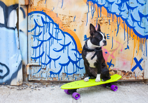 カラフル「Boston terrier on skateboard in urban setting」:スマホ壁紙(19)