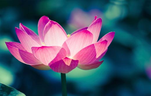 flower「聖なるロータス CRO 処理された画像」:スマホ壁紙(5)