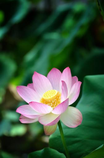 Water Lily「Sacred lotus flower V」:スマホ壁紙(3)