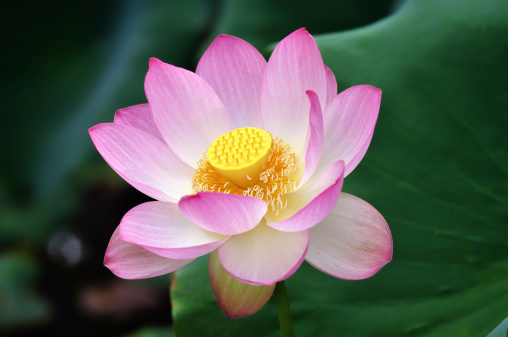 Water Lily「Sacred lotus flower II」:スマホ壁紙(9)