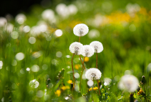 たんぽぽ「Blowballs on meadow」:スマホ壁紙(9)