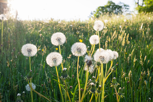 たんぽぽ「Blowballs on a meadow」:スマホ壁紙(8)