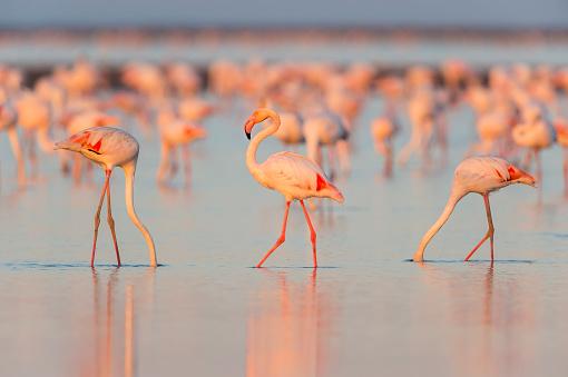 Languedoc-Rousillon「European Flamingo, Phoenicopterus roseus」:スマホ壁紙(9)