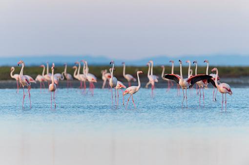 Languedoc-Rousillon「European flamingo」:スマホ壁紙(13)