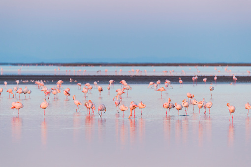 Flock Of Birds「European flamingo at dawn」:スマホ壁紙(15)