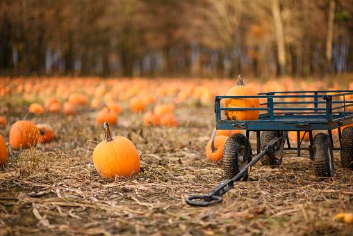 Pumpkin「A wagon in a pumpkin field」:スマホ壁紙(16)