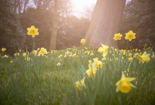 水仙「Daffodils growing in countryside」:スマホ壁紙(8)