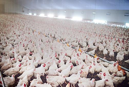 Hen「Poultry unlimited」:スマホ壁紙(1)