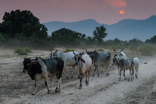 Rajasthan「Zebu cattle at sunset, Rajasthan, India」:スマホ壁紙(12)