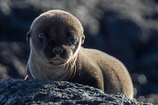 ガラパゴス諸島「Baby Galapagos Sea Lion, Santiago Island, Galapagos Islands, Ecuador.」:スマホ壁紙(2)