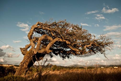 Single Tree「Italy, Sardinia, Iglesias, View of olive tree」:スマホ壁紙(6)