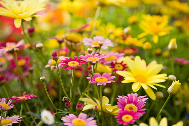 Colorful daisies, focus on Madeira Deep Rose marguerite daisy:スマホ壁紙(壁紙.com)