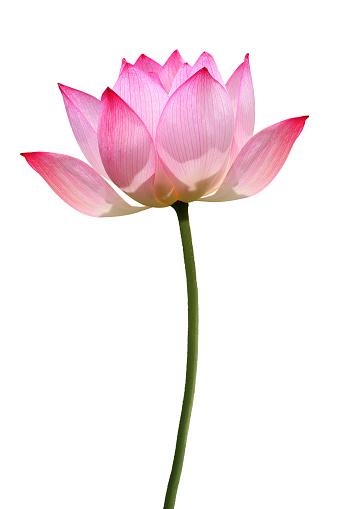 Water Lily「Lotus」:スマホ壁紙(19)