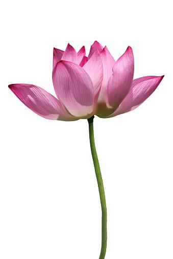 Planting「Lotus」:スマホ壁紙(2)