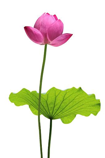 Water Lily「Lotus」:スマホ壁紙(2)