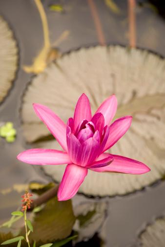 Lotus Water Lily「Lotus」:スマホ壁紙(6)