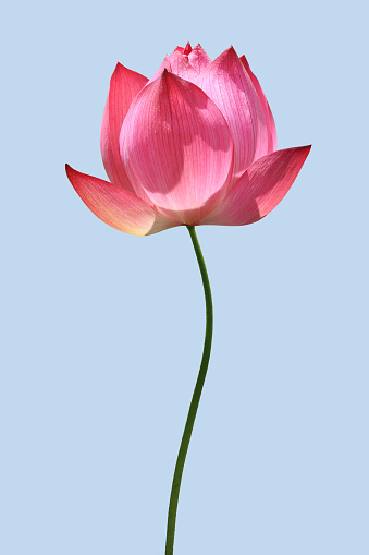 Lotus Water Lily「Lotus」:スマホ壁紙(2)