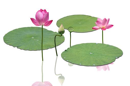 Water Lily「Lotus」:スマホ壁紙(18)