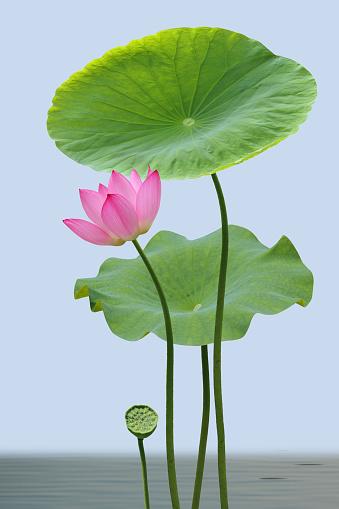 Water Lily「Lotus」:スマホ壁紙(7)