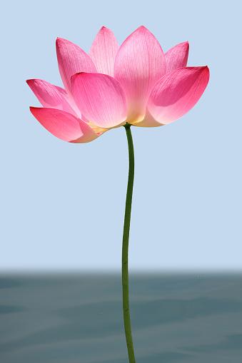Lotus Water Lily「Lotus」:スマホ壁紙(9)
