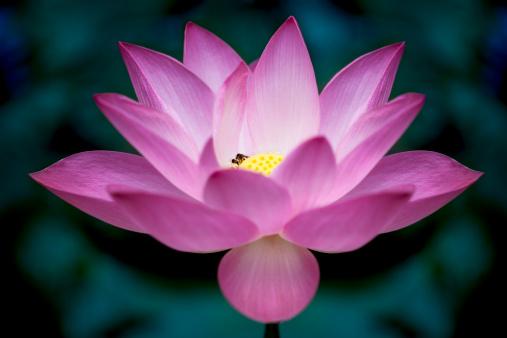 Water Lily「Lotus」:スマホ壁紙(10)